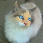 красивая кошка с синими глазами