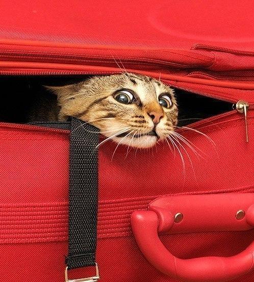 Фото кота в чемодане