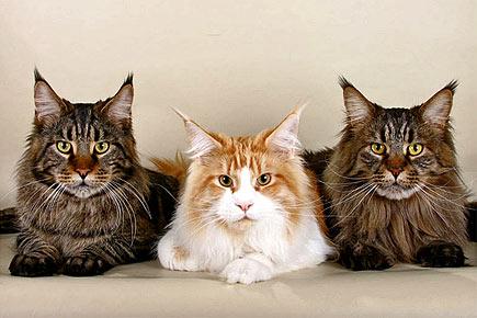 кошки мейн куны
