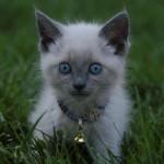 серенький голубоглазый котенок