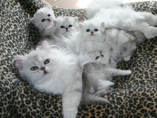 белая кошка с котятами