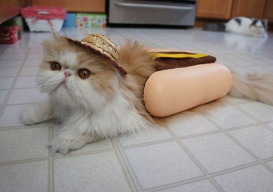 кот хотдог