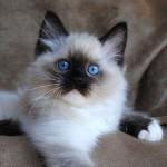 котенок голубоглаз
