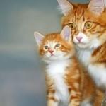 рыженький котенок с мамой