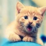рыжий котенок с открытым ртом