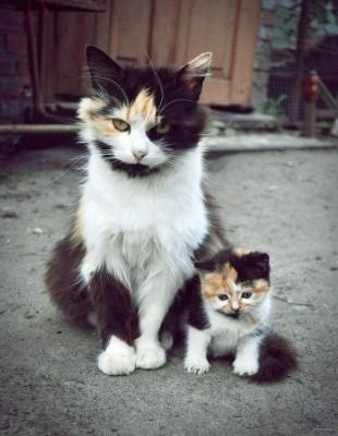 кошки трехцветки