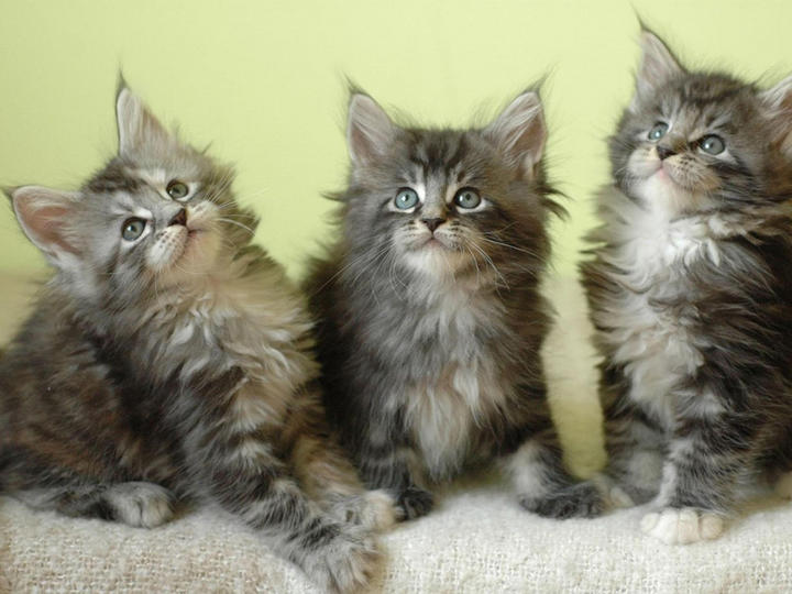 Коты мейн куны смешно