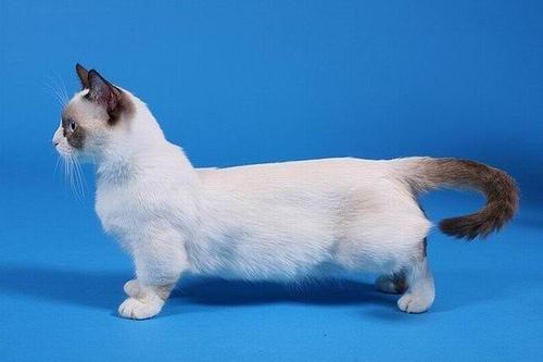 кошка манчкин белая
