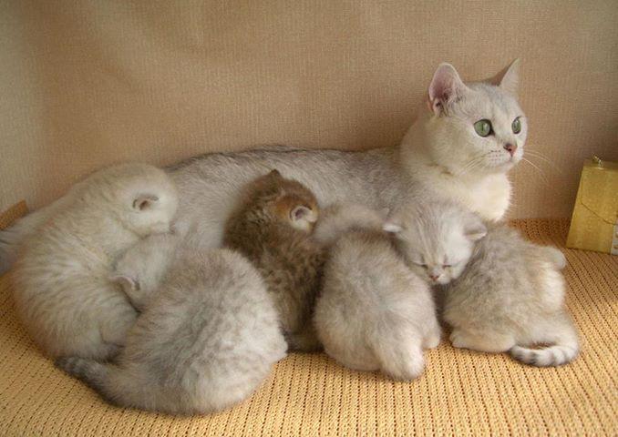 знакомство кошки британские домом с