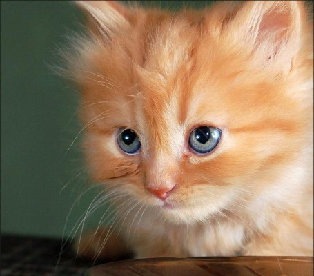 мордочка рыжего котенка