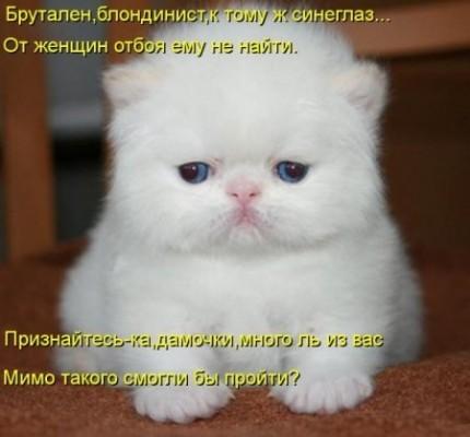 котенок брутален, блондинист и синеглаз