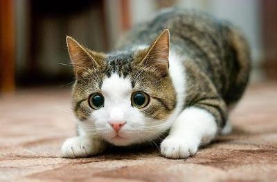 кот готовится к прыжку