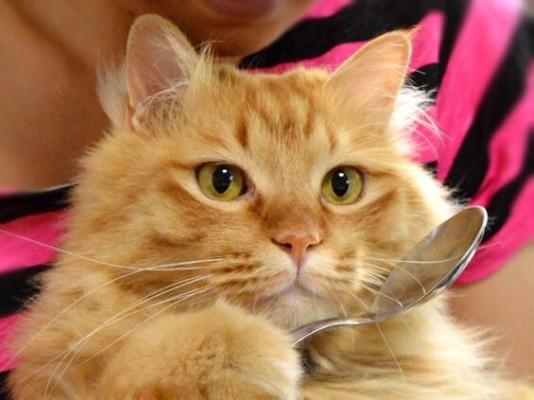 кот с ложкой