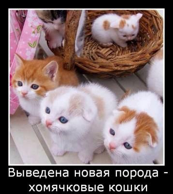 новая порода - хомячковые кошки