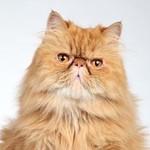 Персидский кот, Persian cat