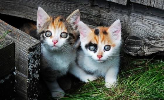 котята трехцветки