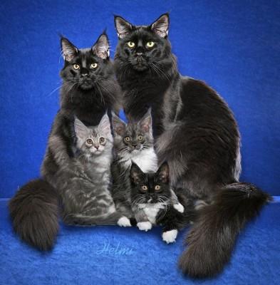 Семья черных мейн кунов с котятами