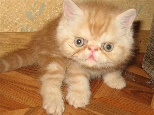 котенок экзотической короткошерстной