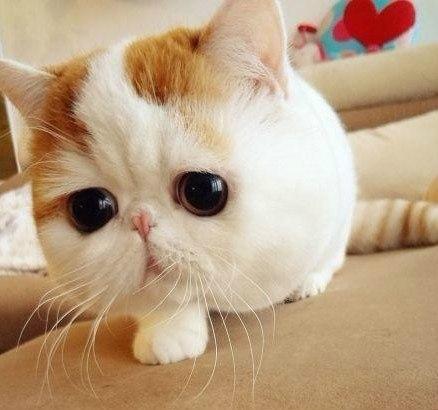 мордочка кошки породы Экзот
