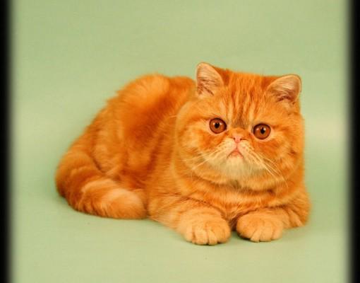 рыжий кот породы Экзот