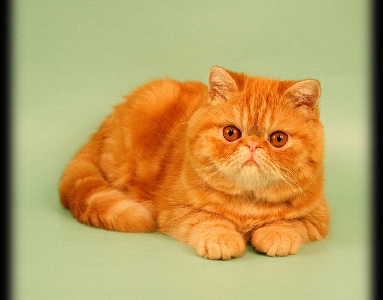 породы кошек с фотографиями экзот