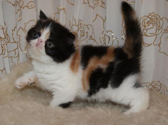 котенок трехцветка породы Экзот