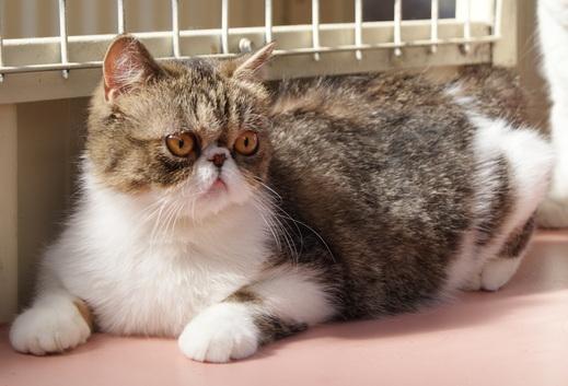 кошка породы Экзот серая