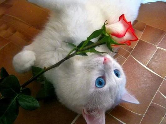 голубоглазая кошка лежит с розой