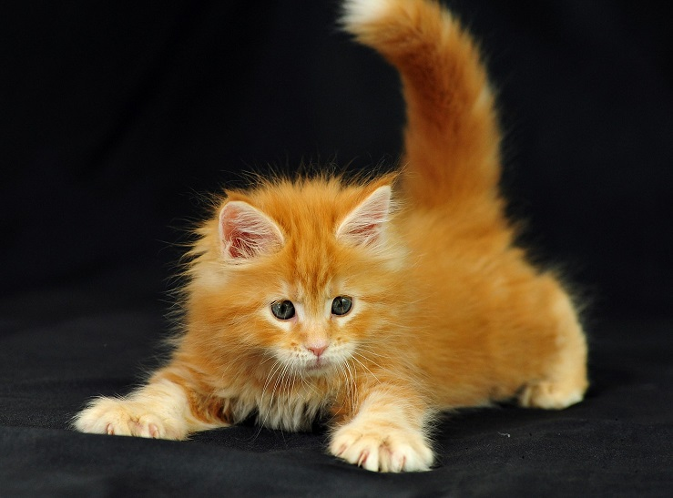http://funkot.ru/wp-content/uploads/2013/10/maine-coon-kitten-hvost-vverh.jpg