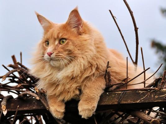 рыжий кот мейн кун примостился на заборе