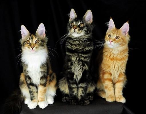 три котенка мейн кун