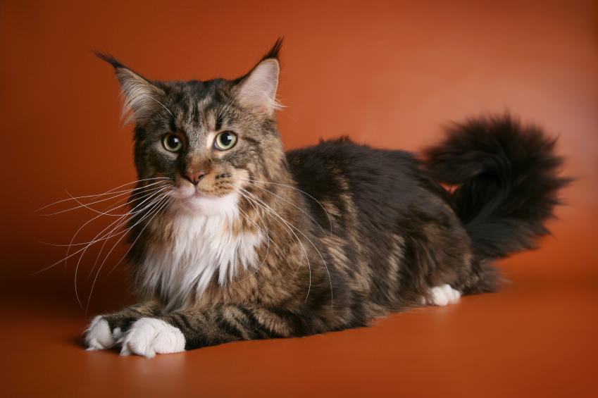 кошки породы мэйкун фото