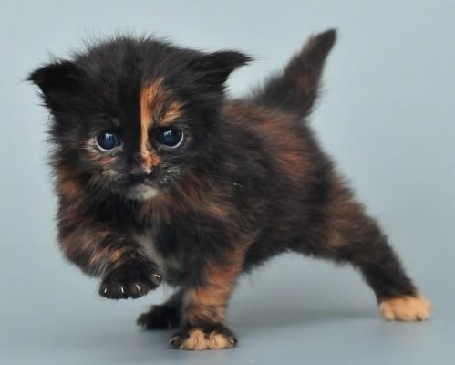 котенок со странным окрасом