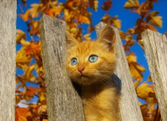 осень и рыжий котенок в заборе