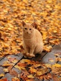 рыжий кот в листьях