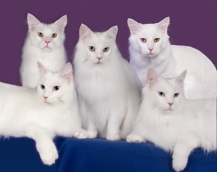 семья белых мейн кунов