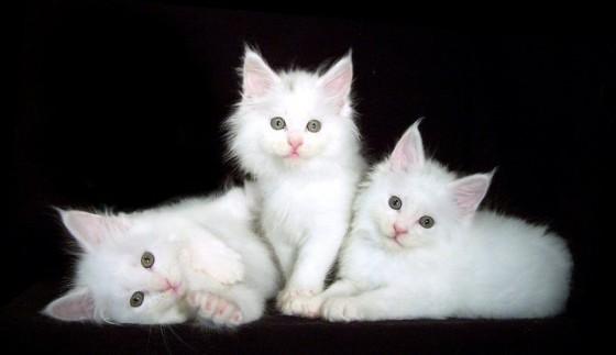 белые котята мейн куны