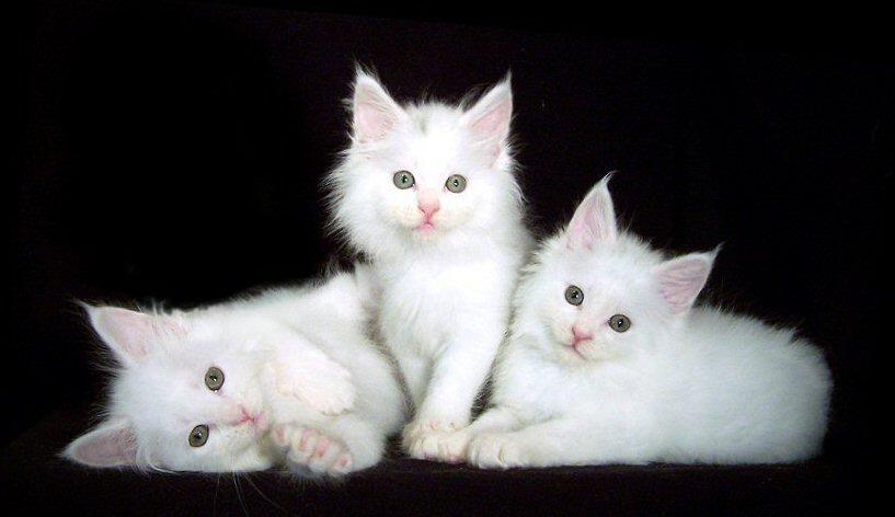 белые котята мейн-кун фото
