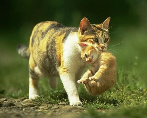 кошка несет котенка за шкирку