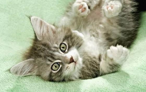 котенок лежит и смотрит