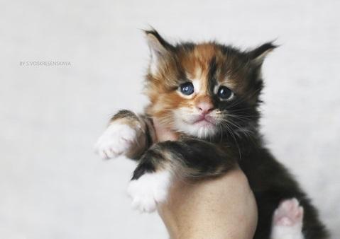 котенок мейн кун трехцветка