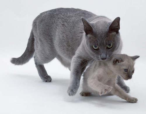 кошка схватила котенка зубами