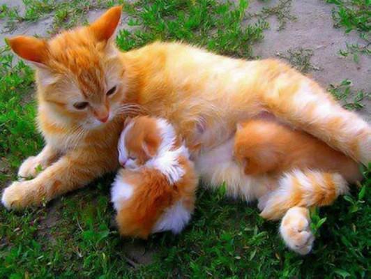 ярко рыжая кошка с котенком