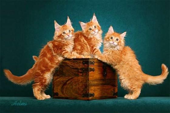 три рыжих котенка