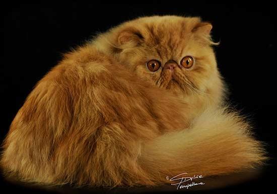рыжий кот перс экстремал