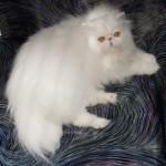 белый персидский кот лежит