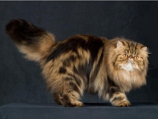 персидская американская кошка экстремал