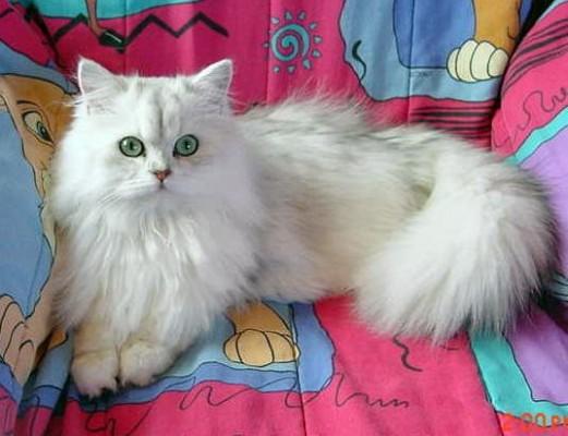 кот классический персидский белый