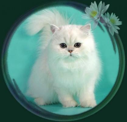 классическая персидская кошка старого типа