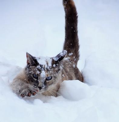 дикий кот пробирается через снег